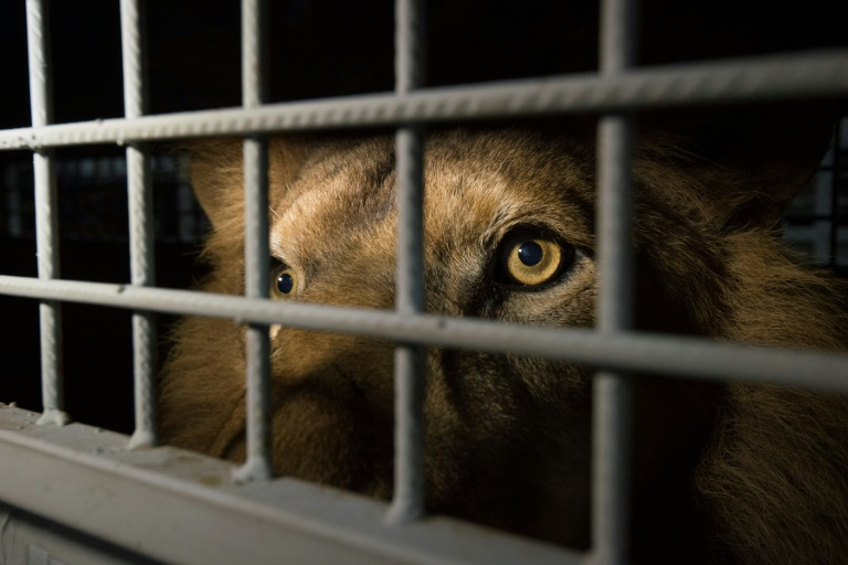 S.Africa to ban breeding lions in captivity for hunting