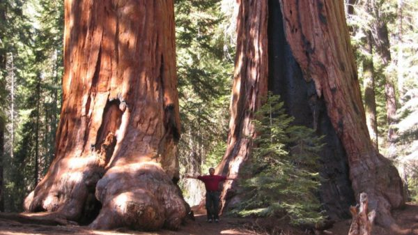 One forest fire killed off 10 percent of the world's Giant Sequoias