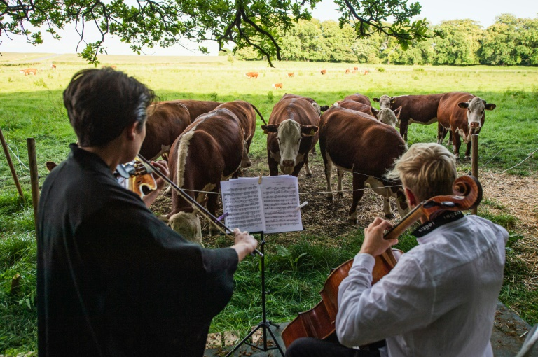 In Denmark, grazing is alive with the sound of music ...