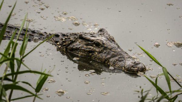 Dangerous attraction: Amorous pursuit imperils Cuban croc