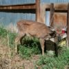 New research claims wildlife disease seen in deer, elk, and caribou in Canada may infect humans