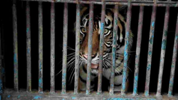 Sumatran tigers infected with coronavirus at Indonesian zoo