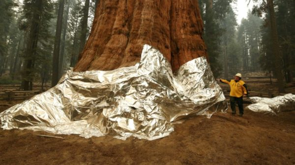 California fights fire with fire to protect giant sequoias