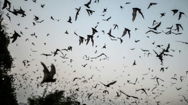 Bats with Covid-like viruses found in Laos: study