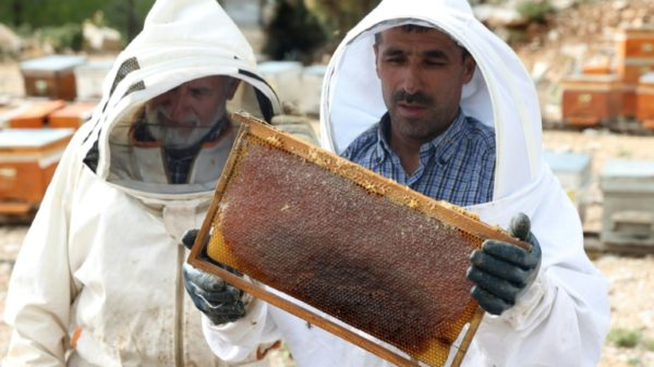 Turkish fires endanger world pine honey supplies