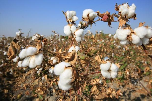 Uzbekistan is eradicating forced labour in its lucrative cotton industry