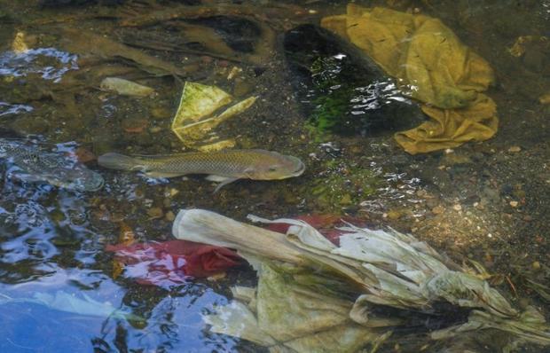 Fish swim among garbage dumped in the Matias Hernandez River in Costa del Este  Panama City