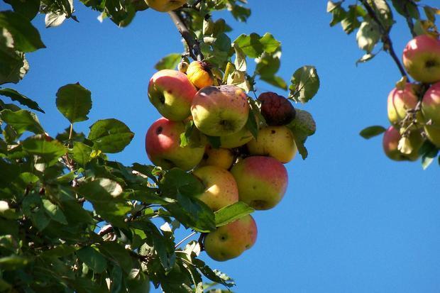 ripened crab apples taken in WI