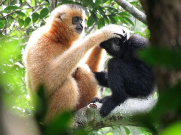 There are 20 identified gibbon species across Asia. Most are either