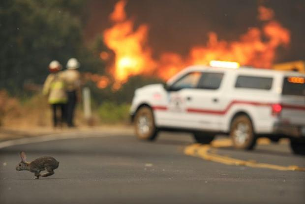 A rabbit crosses the road with flames from a brush fire during the Valley Fire in Jamul  California