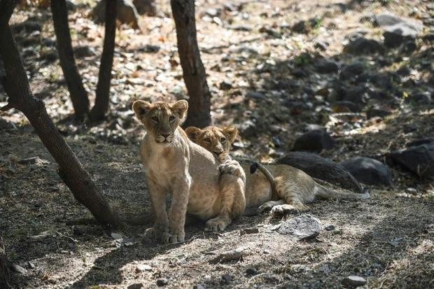 The sanctuary is now too small for its steadily growing lion population