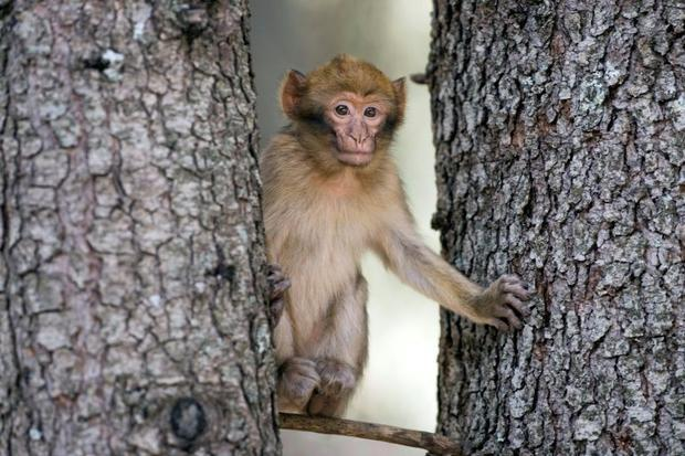 Barbary macaques are taken by poachers and often sold to buyers in Europe for between $110 and $330 ...