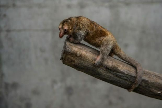 Pygmy anteaters (Cyclopes didactylus)  known as silky anteaters  spend their entire lives in the tre...