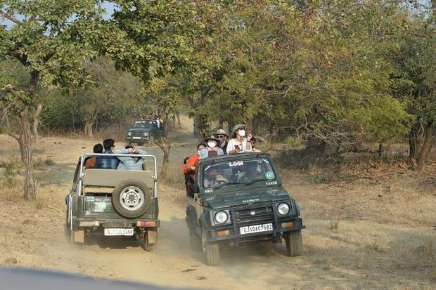 Around 550 000 people visit Gir National Park each year