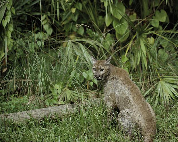 Florida panther in its natural habitat