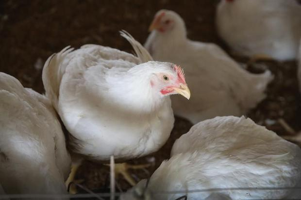 Avian influenza is very dangerous to birds and can contaminate humans