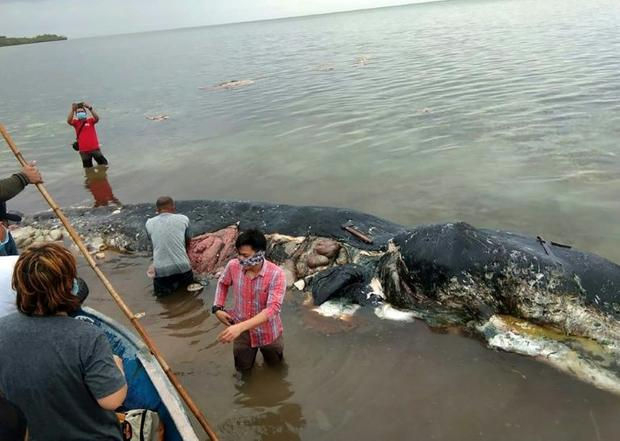A dead sperm whale that washed ashore  had nearly six kilograms (13.2 lbs) of plastic waste in its s...