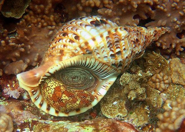 The giant triton snail  Charonia tritonis  is one of the main predators of the COTS.