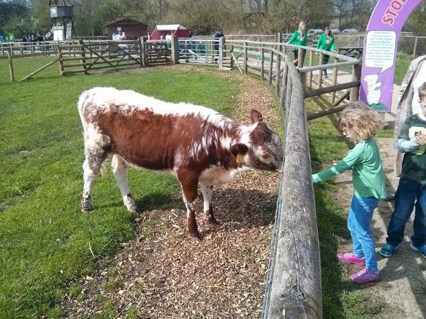 A cow at Willows Farm