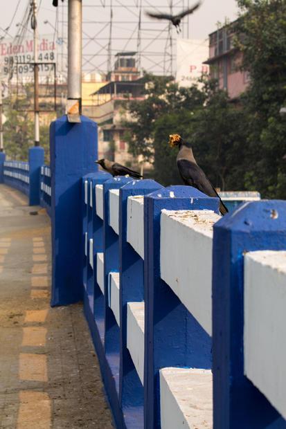 Kolkata  India. Crows at Dhakuria Bridge.