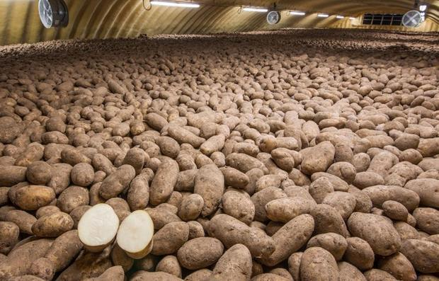 Potatoes in a storage