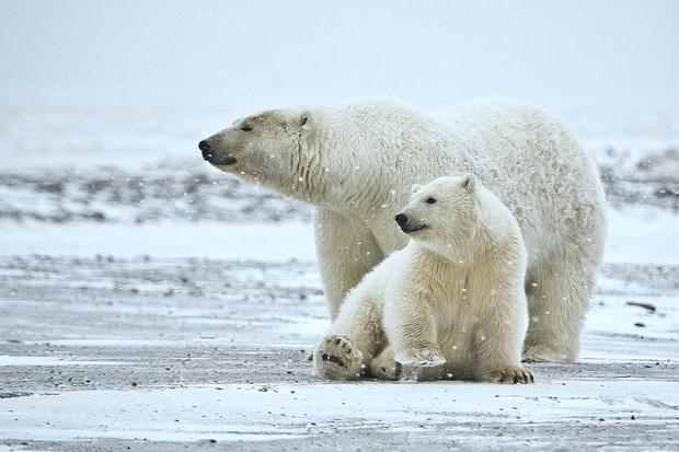 Sow and cub Polar Bears (Ursus maritimus) in the Arctic National Wildlife Refuge  Alaska.