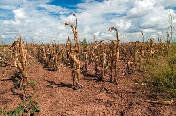 Corn shows the affect of drought in Texas on Aug. 20  2013.