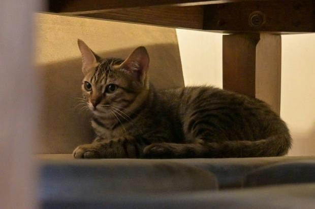 Rescued feral kitten Sir Ian McKellen. What owners think is bad behaviour is often just cats being c...