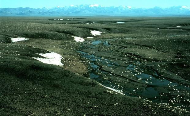 Porcupine caribou herd in Area 1002  Arctic National Wildlife Refuge.