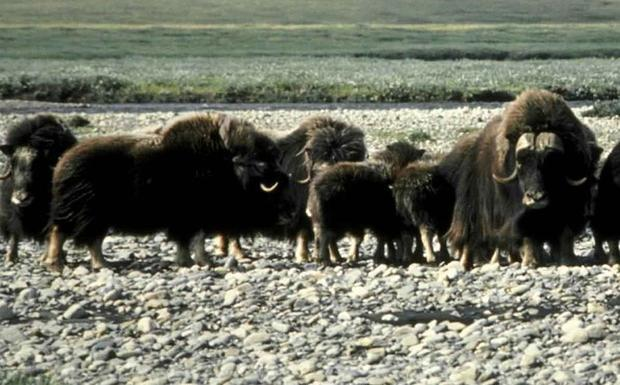 Muskoxen on Arctic national wildlife refuge.