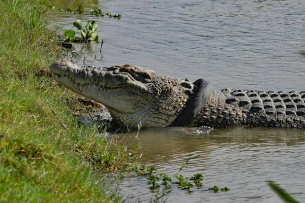 Wildlife officials fear the croc could be strangled by the tyre around its neck