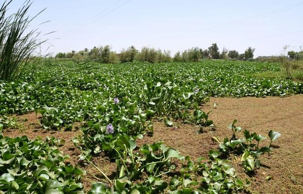 Iraqi villagers usually pluck out the plants by hand. But this year  a lockdown imposed to stem COVI...