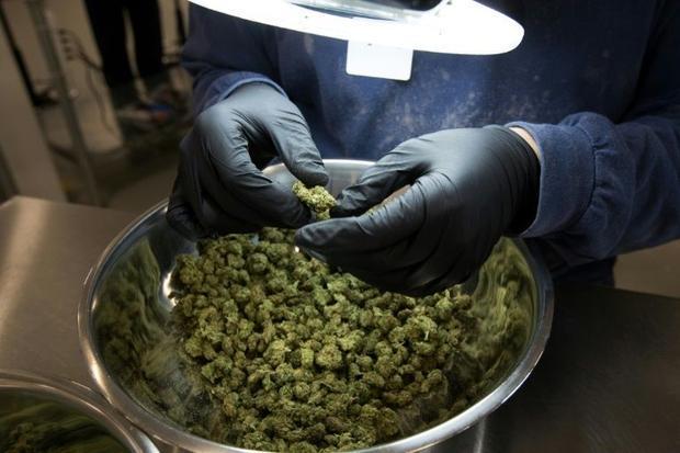 An employee inspect medicinal marijuana by hand at Tweed INC. in Smith Falls  Ontario December 5  20...