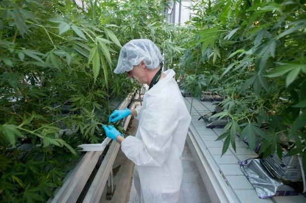 Employee Jason Gagne trims cannabis plants at Up's factory in Lincoln  Ontario