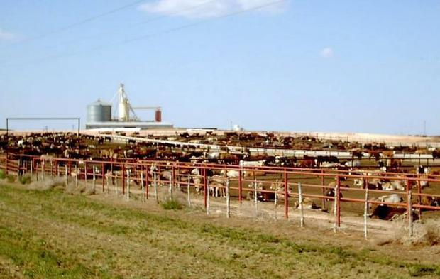 Beef cattle on a feedlot in the Texas Panhandle