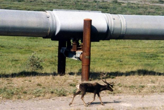 A caribou walks next to a section of the pipeline north of the Brooks Range.  The pipeline carries o...