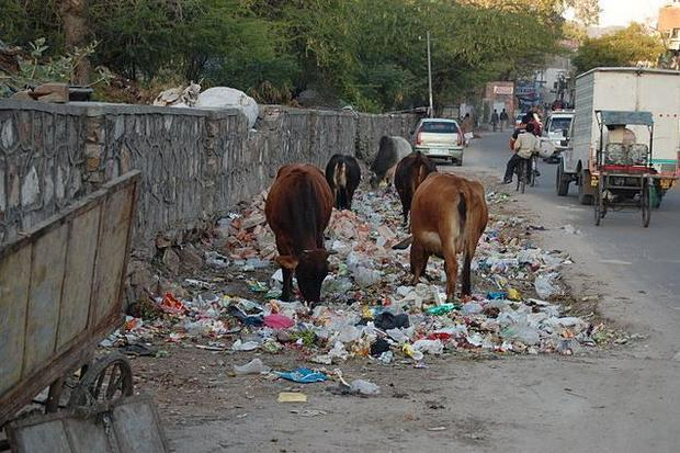 Cows eating trash  Jaipur  India.