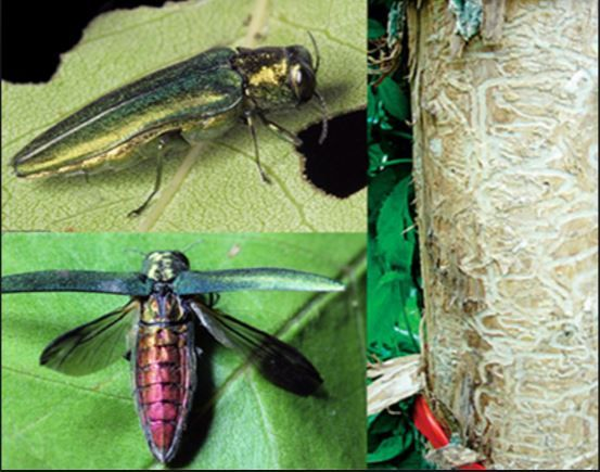 Emerald Ash Borer (adults) and tree damage from larvae. Photo source: US Forest Service  David Cappa...