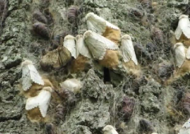 Female gypsy moths laying their egg masses on a tree.