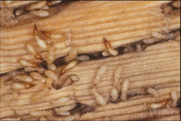 Annually  Formosan termites cause over $1 Billion of damage in the US alone  and the Gulf Coast is a...