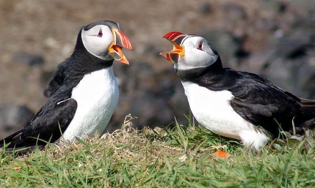 Atlantic Puffins on the Isle of Lunga  Scotland.