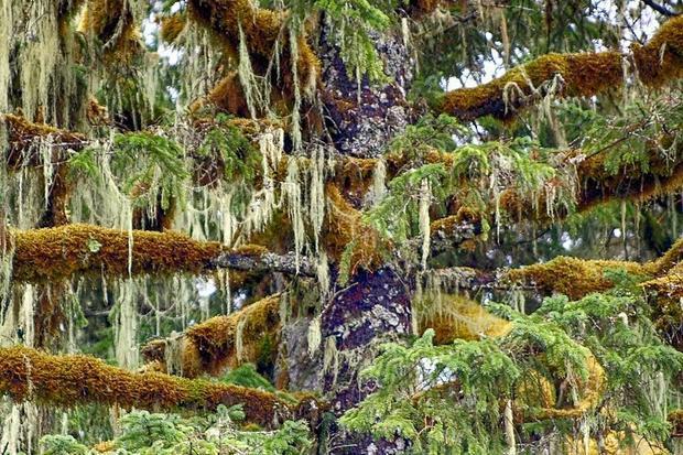 Detail of Spruce Goats Beard Moss - Tongass National Forest  Southeast Alaska.