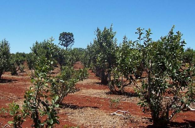 Yerba mate plantation in Misiones  Argentina in 2005.